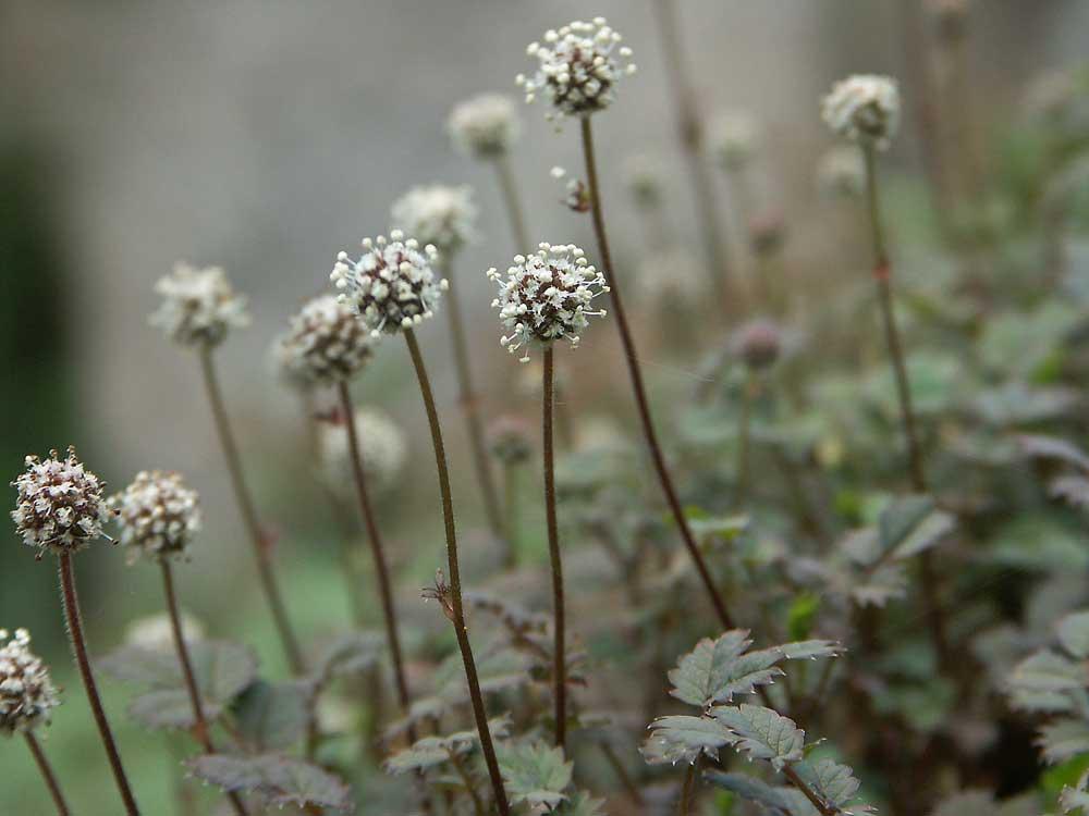 acaena-microphylla