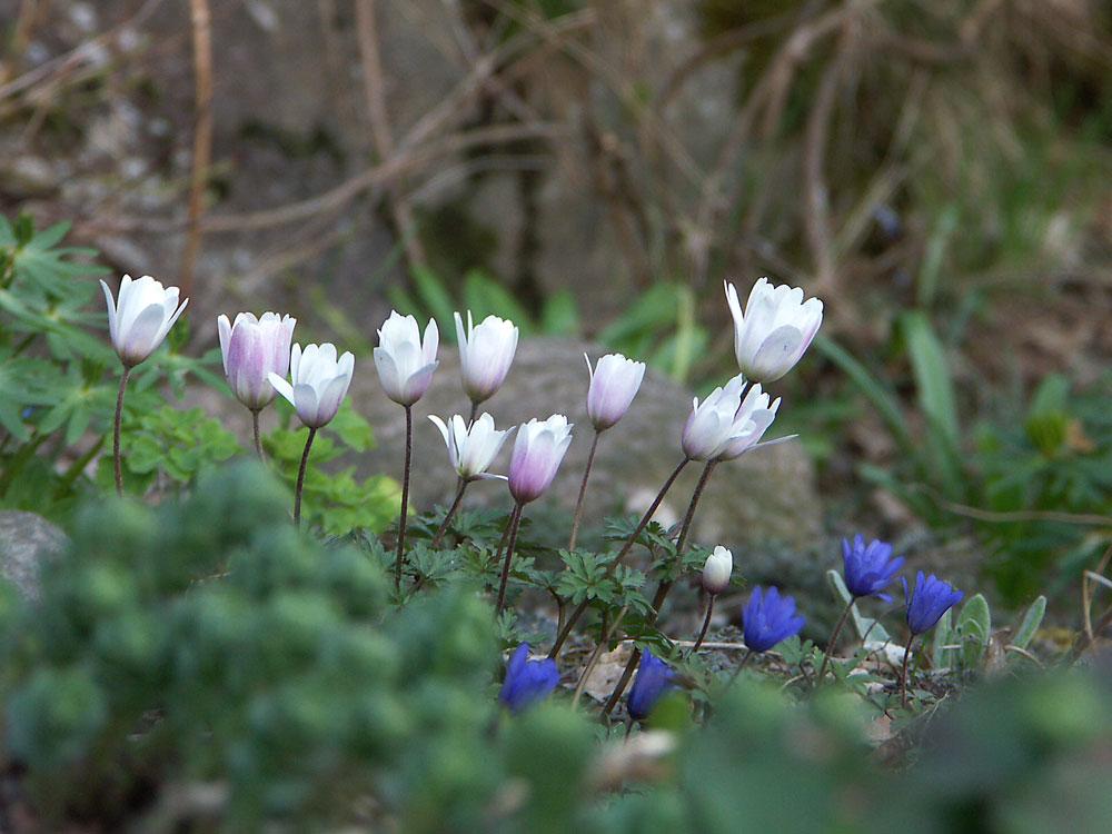 anemone-blanda2