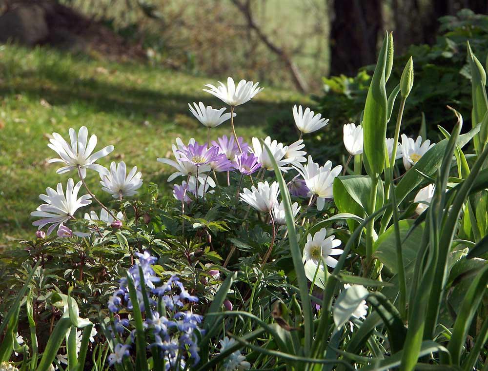 anemone-blanda3
