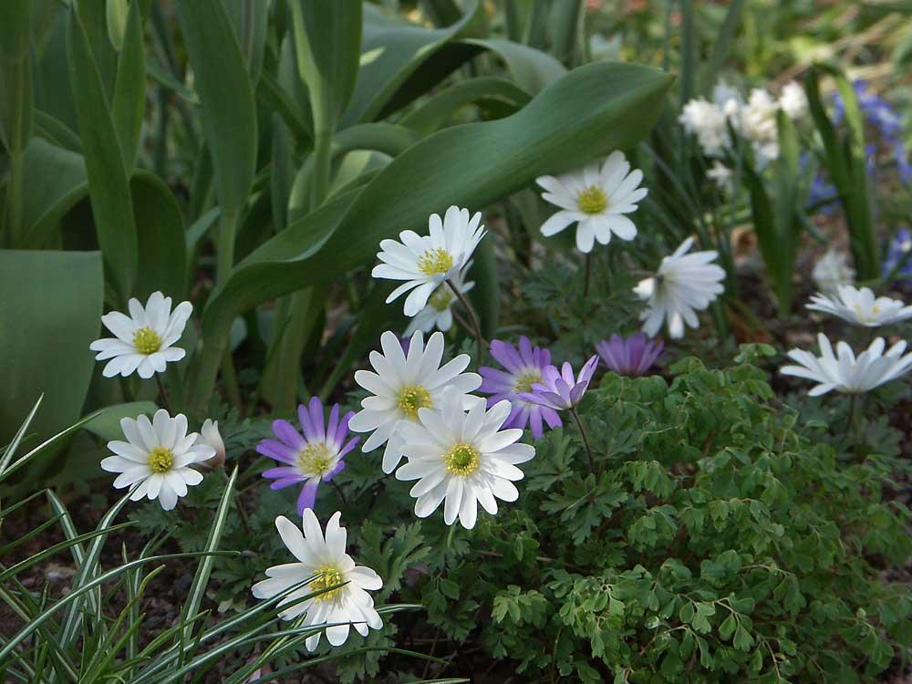 anemone-blanda4