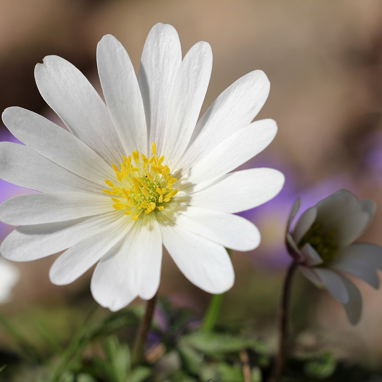 anemone-blanda5