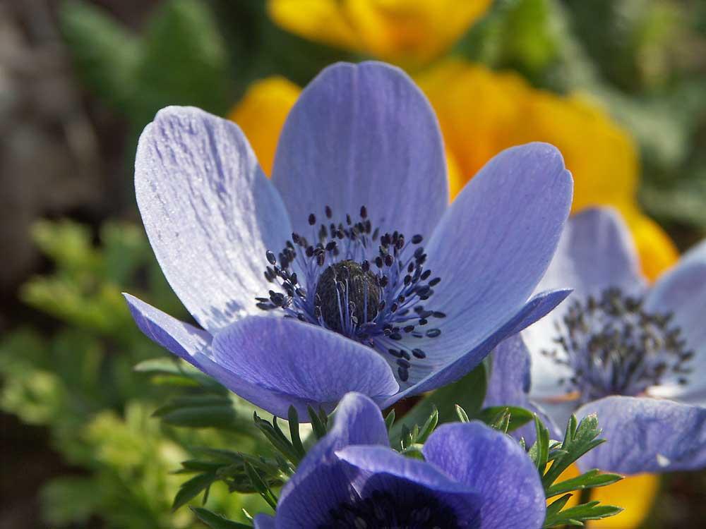 anemone-coronaria