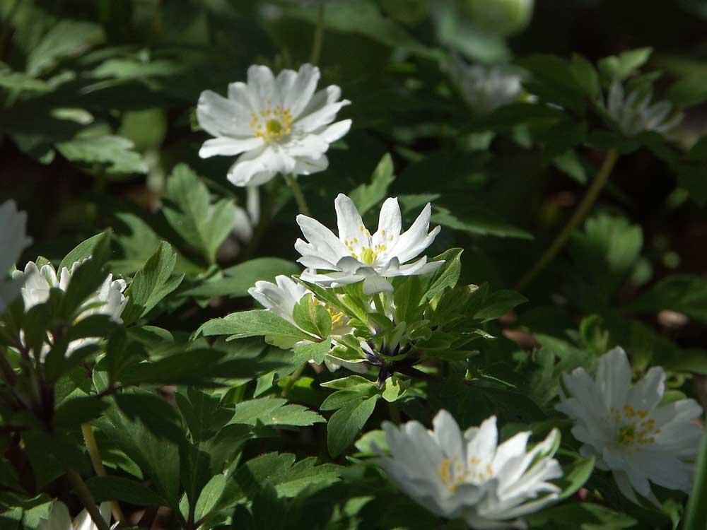 anemone-nemo-brac1