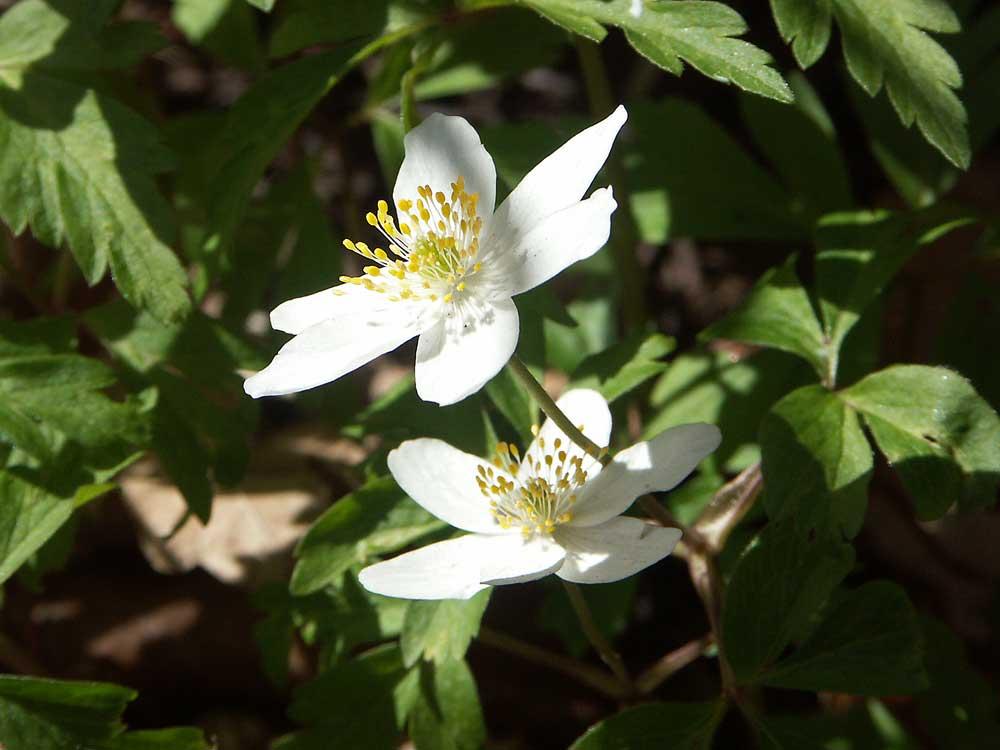 anemone-nemorosa1