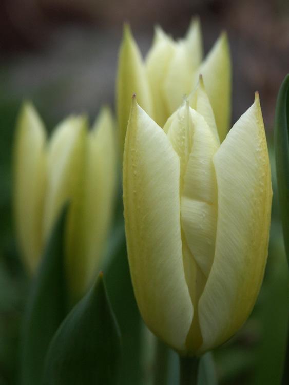 tulipa-purissima