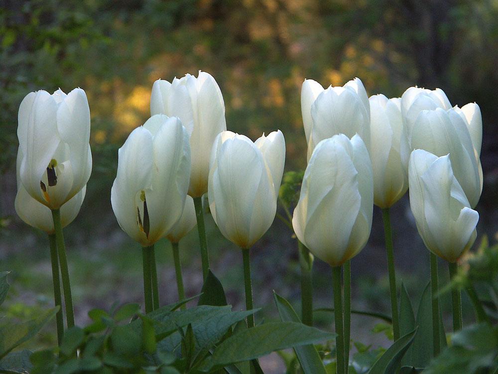 tulipa-purissima4