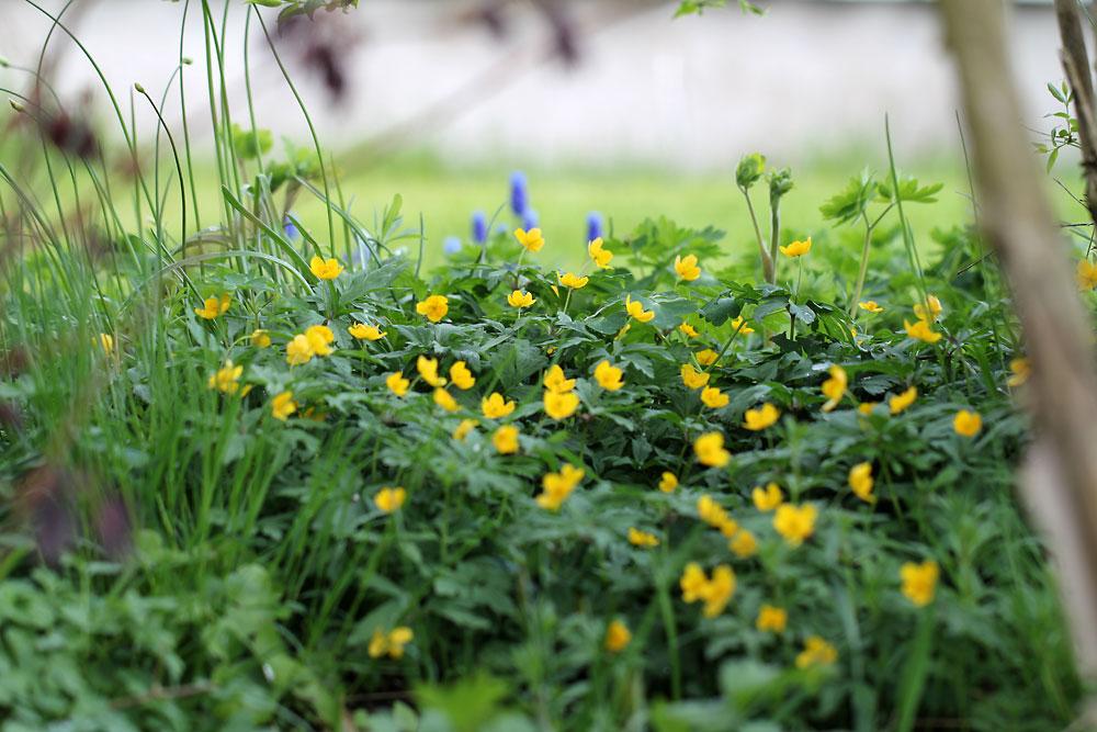 Anemone-ranunculoides-150501