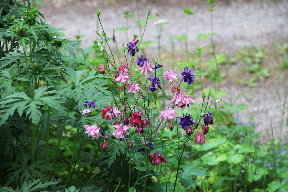 Aquilegia-vulgaris-ssp