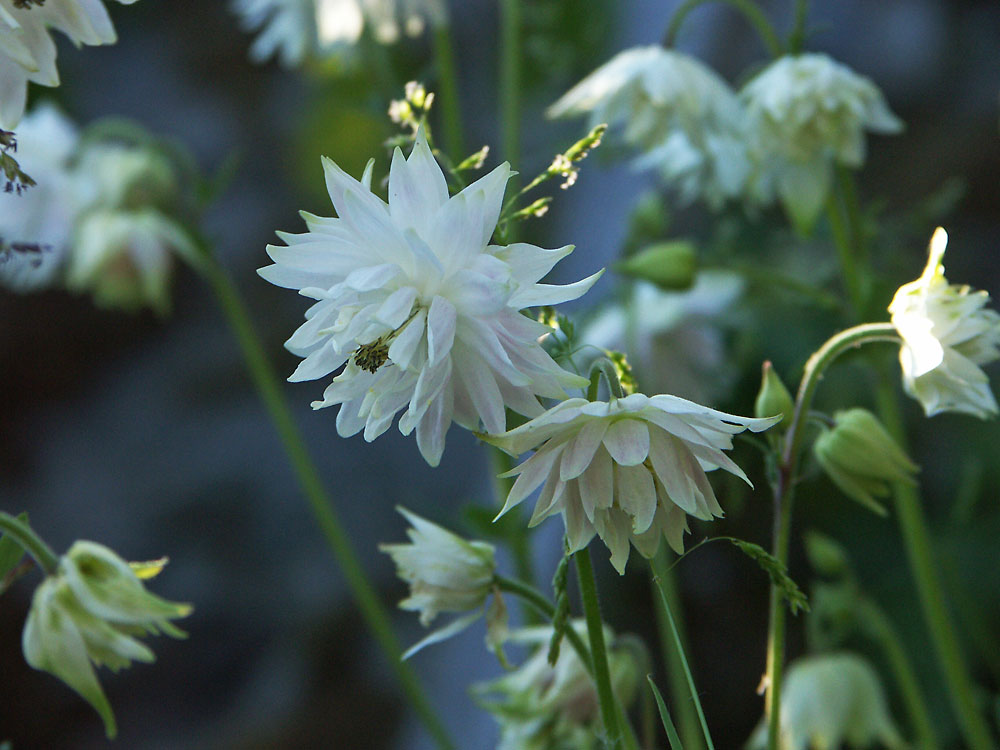 Aquilegia-vulgaris-var.-clematiflora-Green-Apples-130608(4)