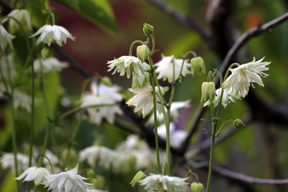 Aquilegia-vulgaris-var150616