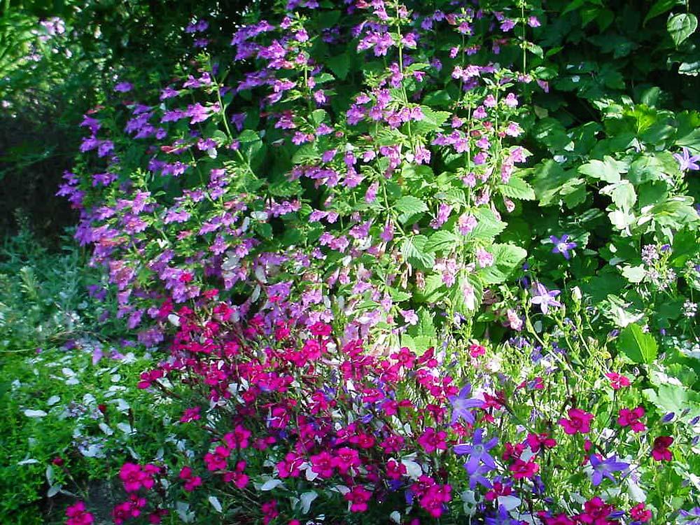 Calamintha-grandiflora-030705