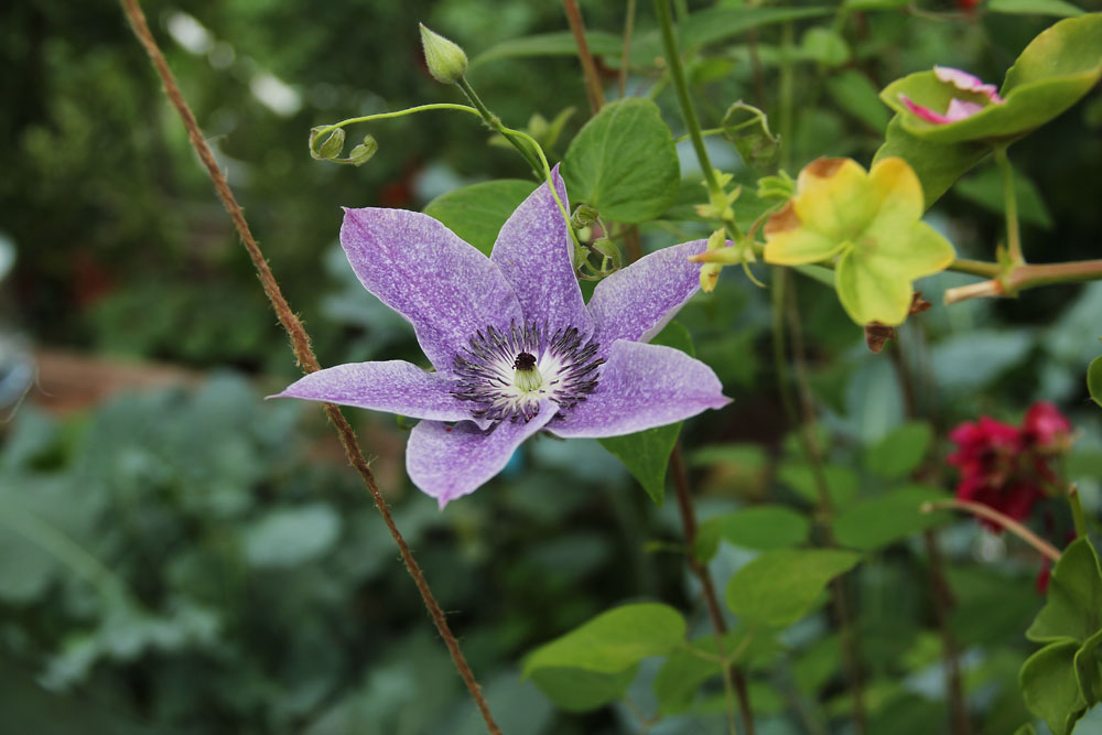Clematis-Best-Wishes2
