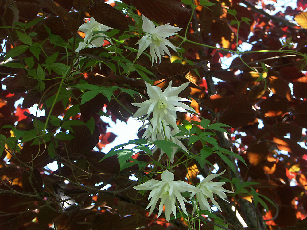 Clematis-sibirica-Albina-Plena