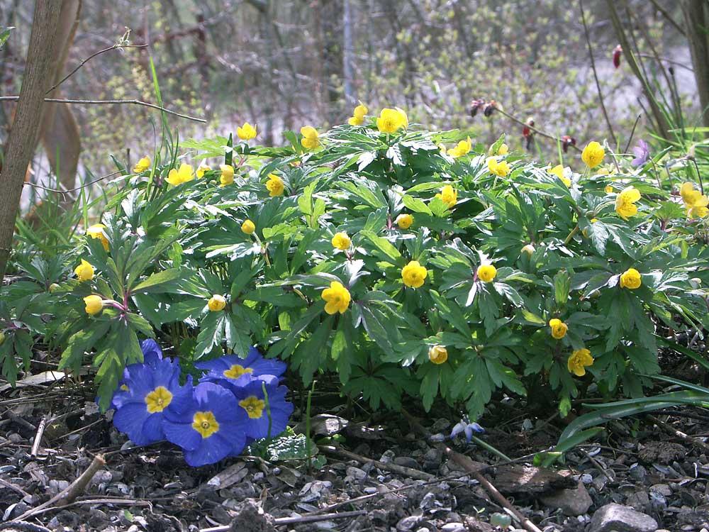 anemone-ranunculoides