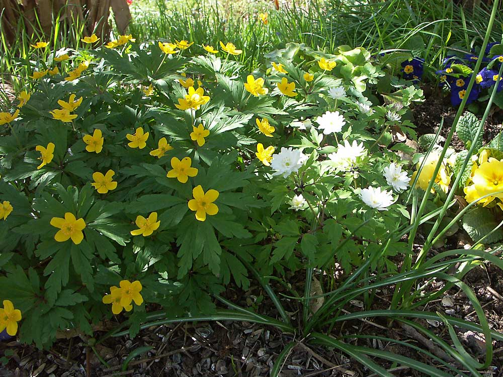 anemone-ranunculoides1