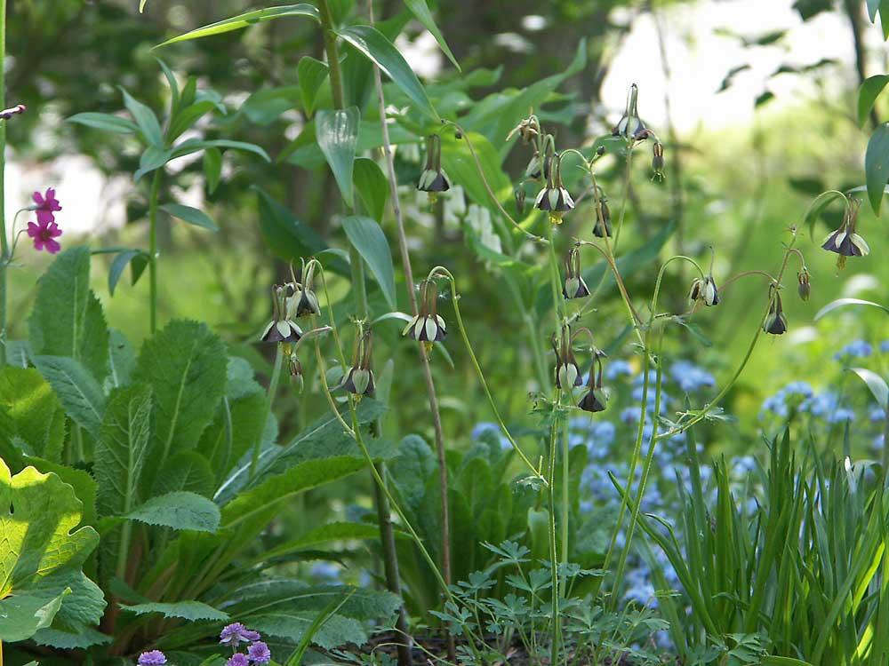 aquilegia-viridiflora2