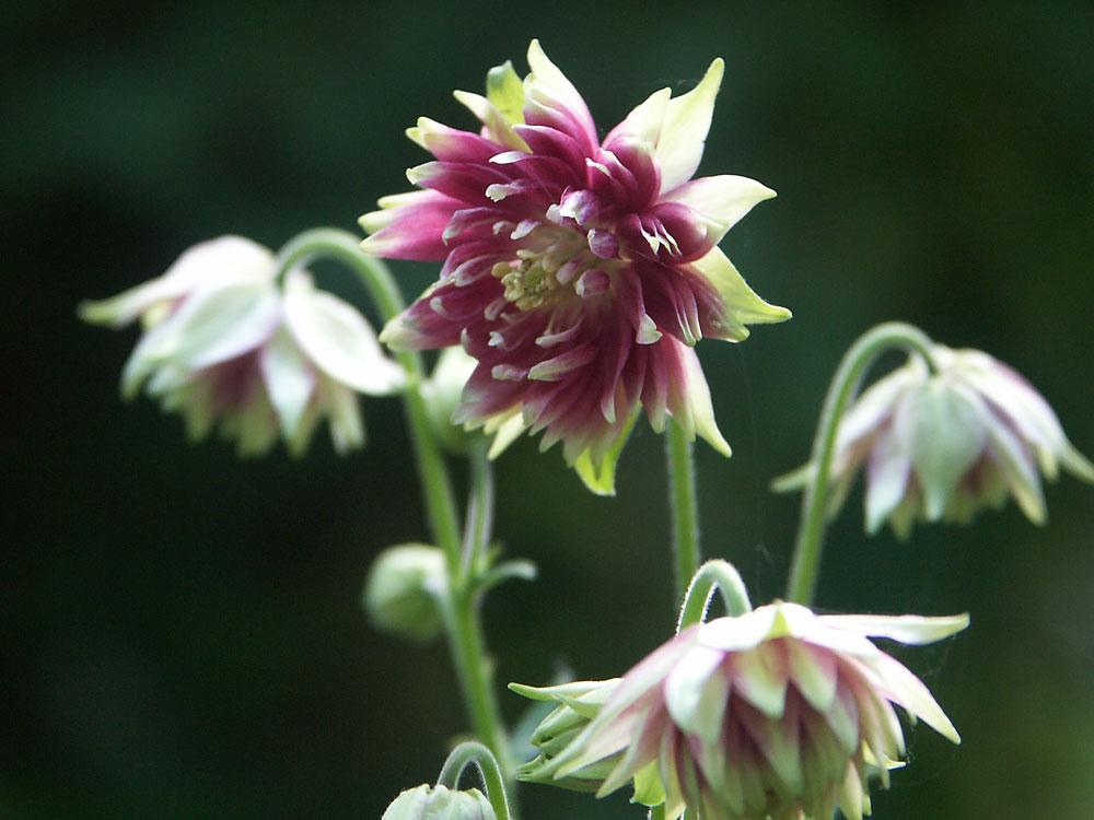 aquilegia-vulgaris-nora