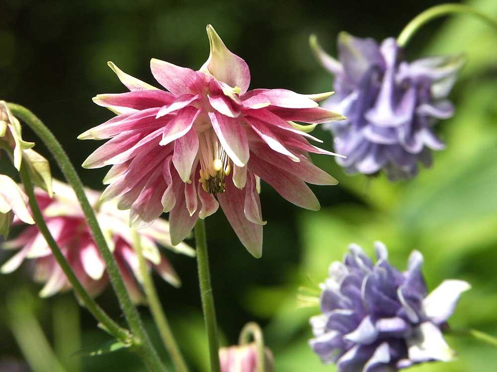 aquilegia-vulgaris-nora2
