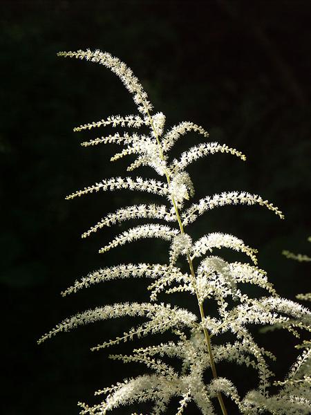 aruncus-dioicus141020(2)