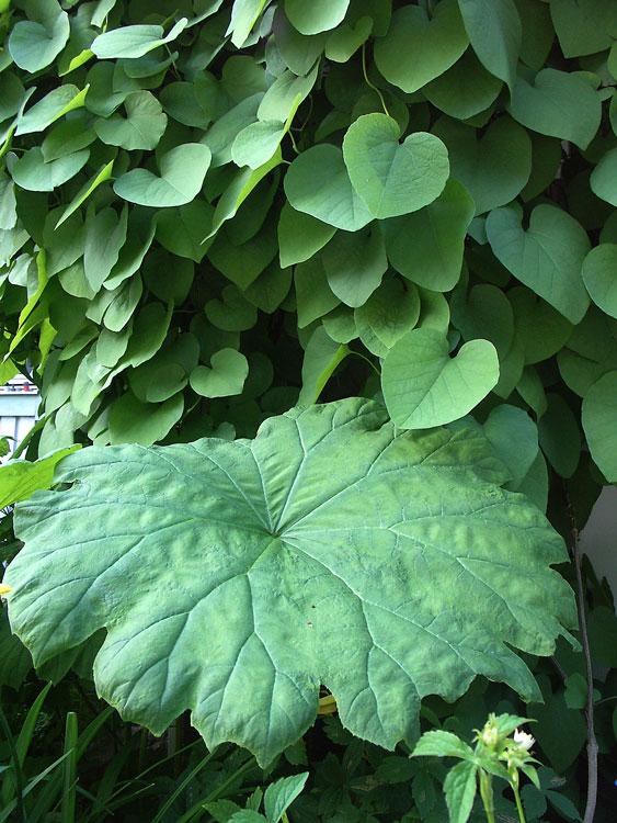 astilboides-tabularis-1