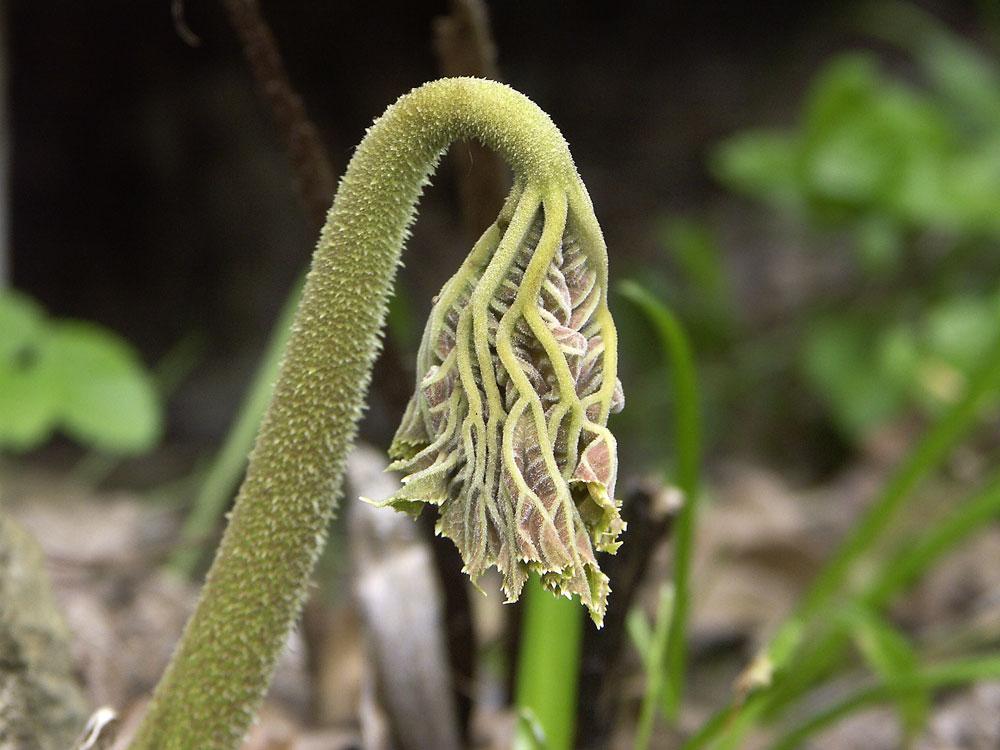 astilboides-tabularis