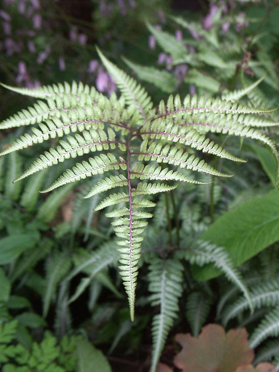 athyrium-niponicum