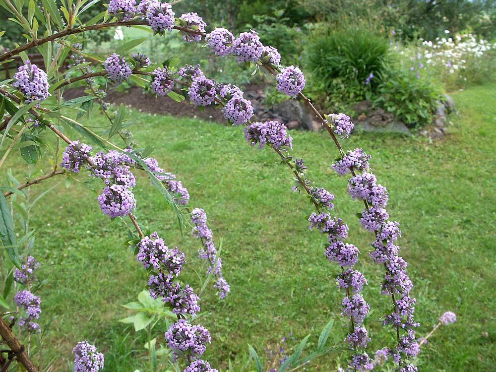 buddleja-alternifolia