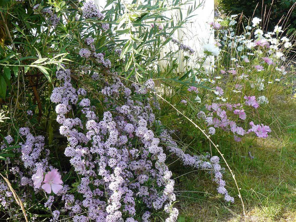 buddleja-alternifolia2