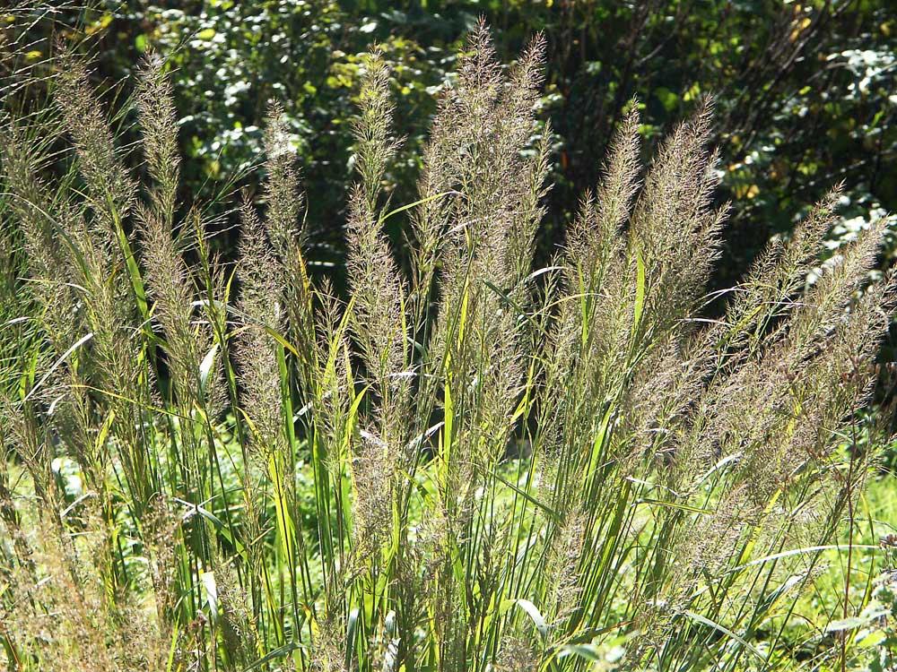 calamagrostis-brach