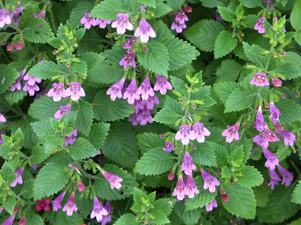 calamintha-grandiflora