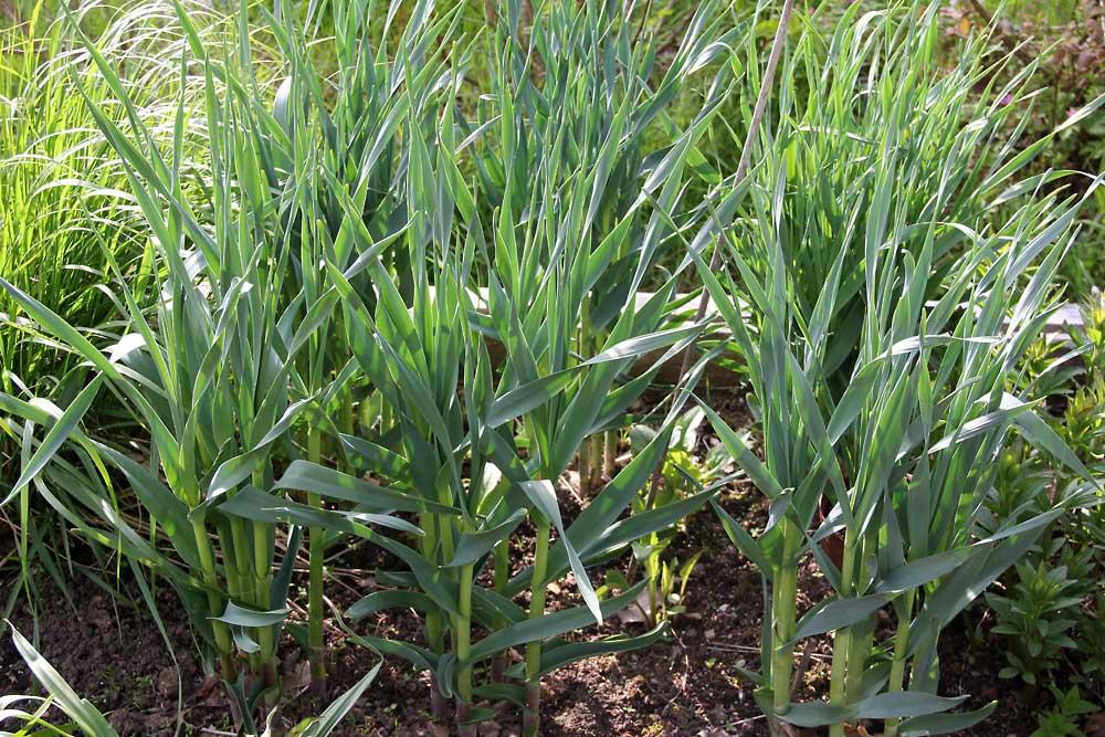 Allium-obliquum-150521(2)