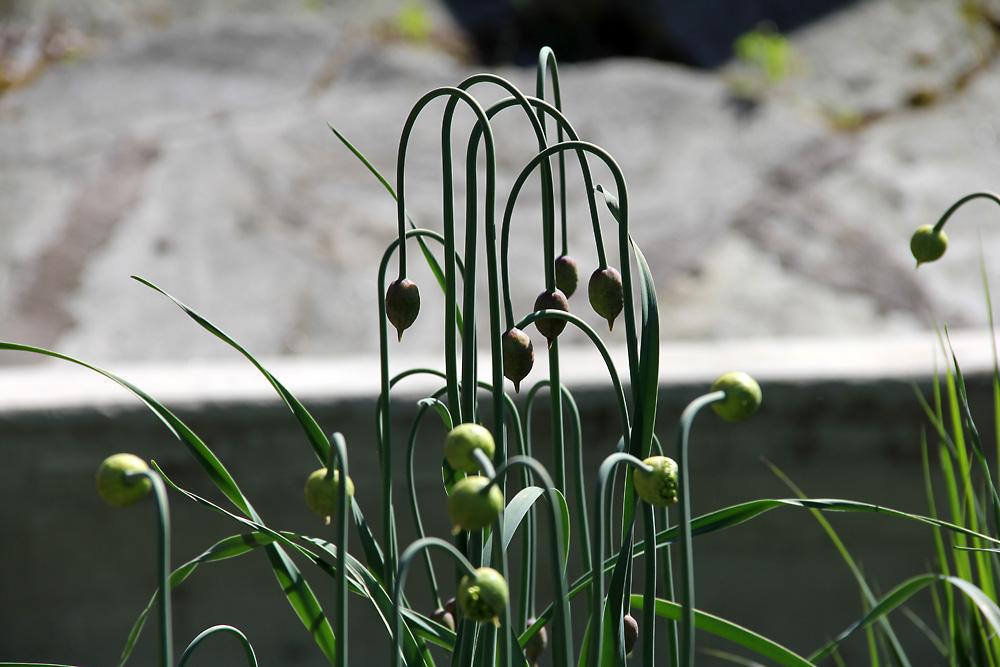Allium-obliquum3