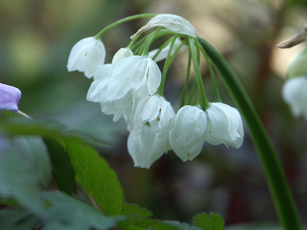 Allium-paradoxum-var.-normale2