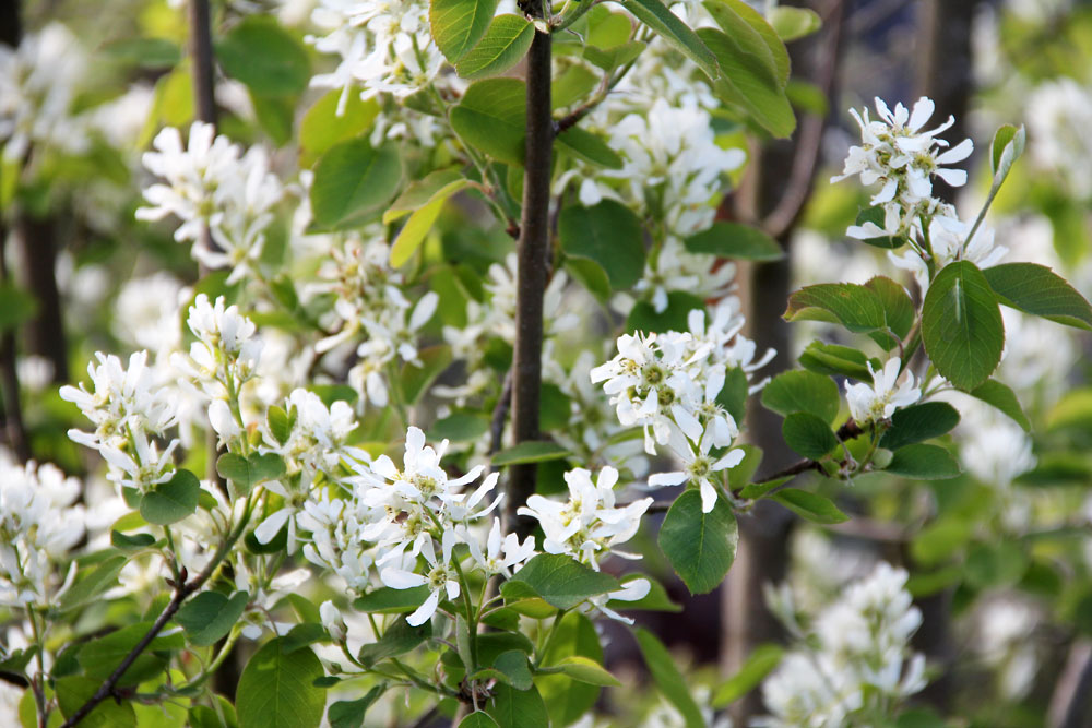 Amelanchier-alnifolia-Smoky-150514(4)
