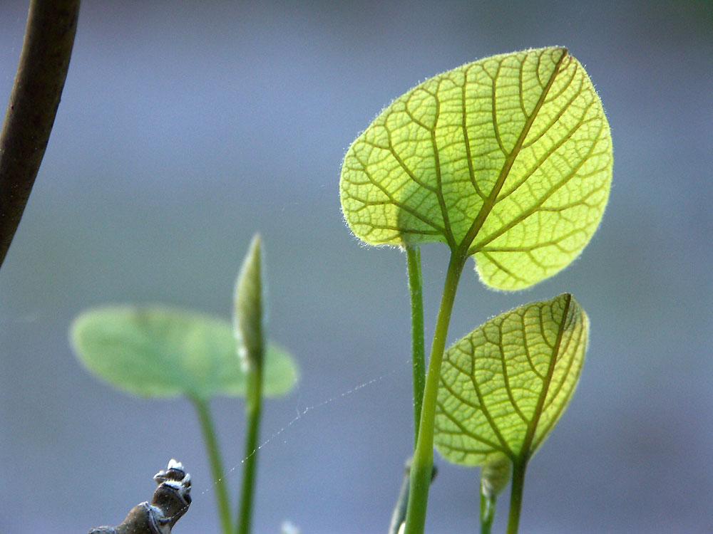 Aristolochia-macrophylla7