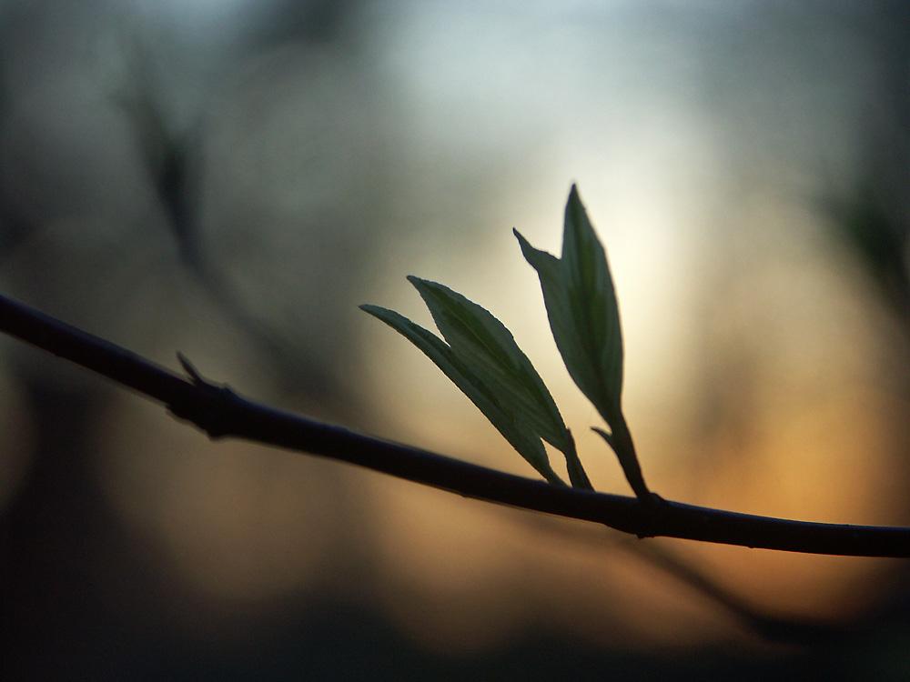 Cornus-alba-Elegantissima3