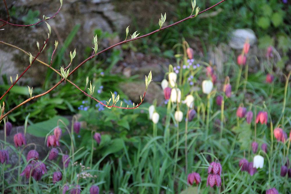 Cornus-alba-Elegantissima4