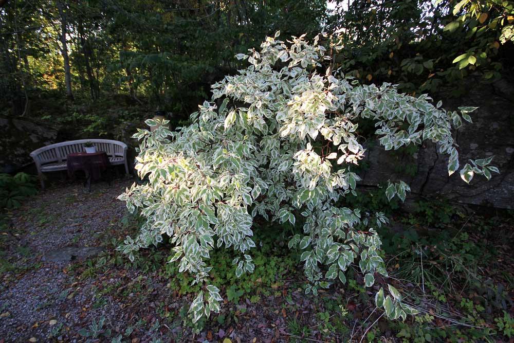 Cornus-alba-Elegantissima5