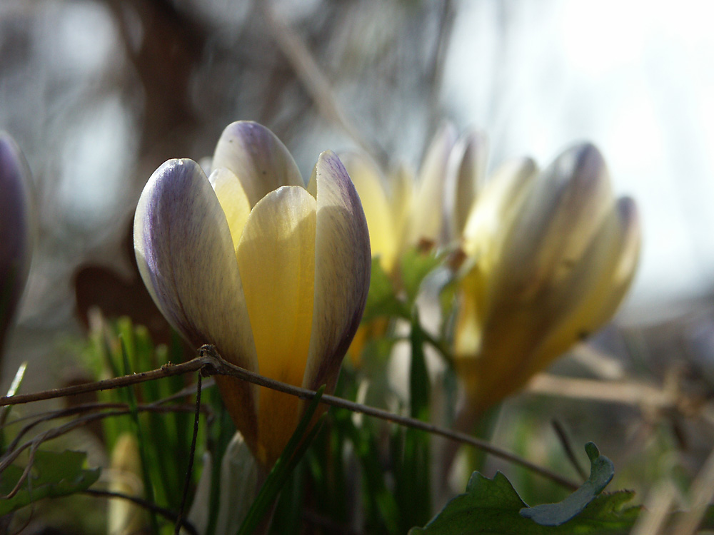 Crocus-chrysanthus-Advance2