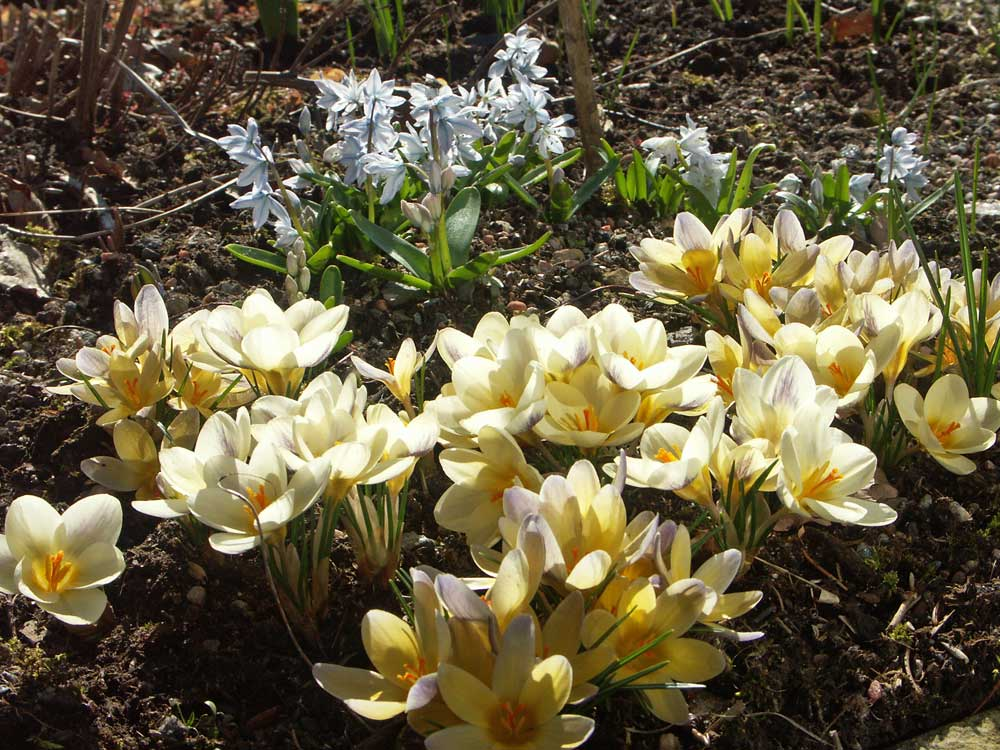 Crocus-chrysanthus-Advance4