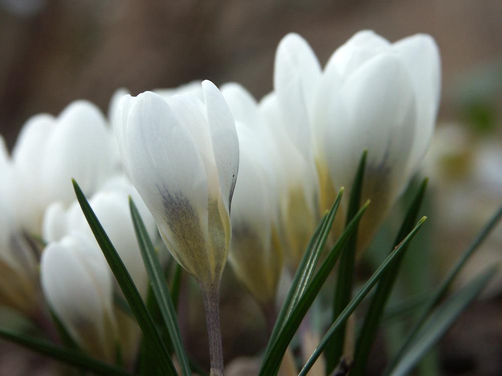 Crocus-chrysanthus-Aubade