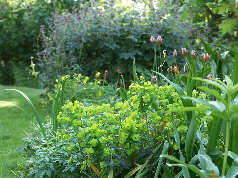 Euphorbia-amygdaloides