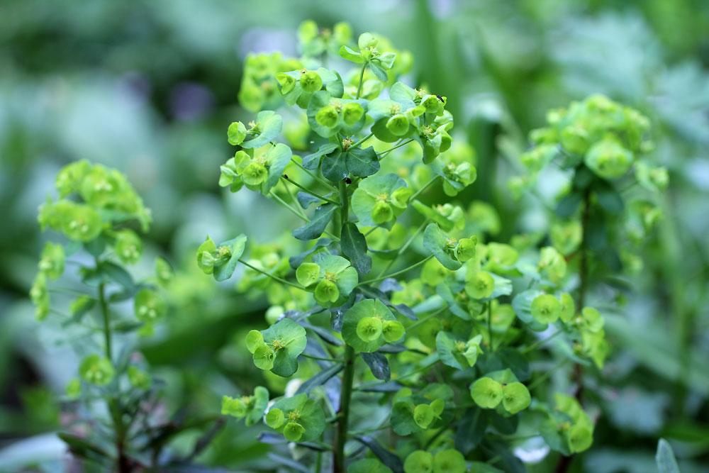 Euphorbia-amygdaloides6