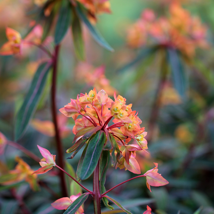 Euphorbia-griffithii-140522
