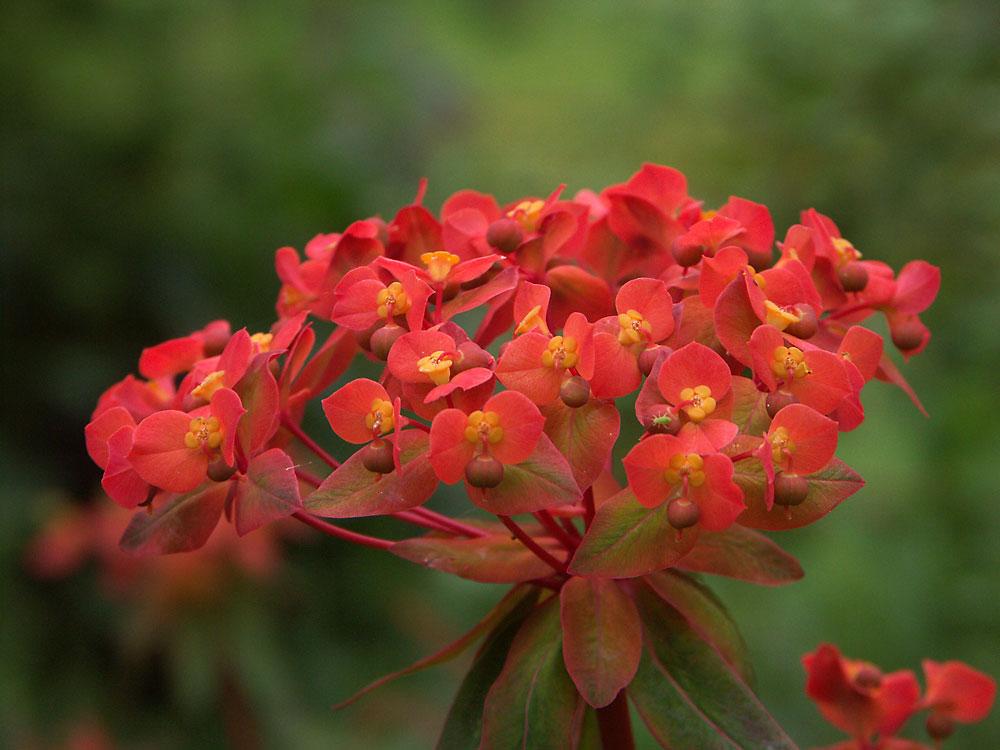 Euphorbia-griffithii-Fire-Glow