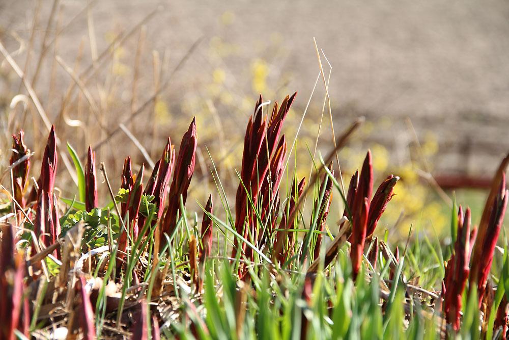 Euphorbia-griffithii-Fire-Glow3