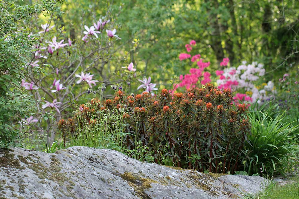 Euphorbia-griffithii-Fire-Glow5