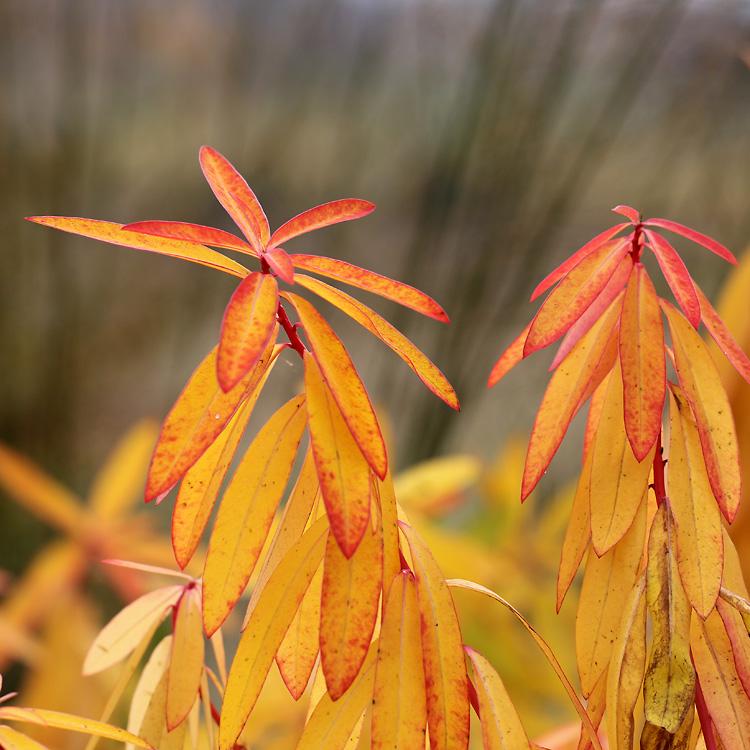 Euphorbia-griffithii-Fire-Glow8