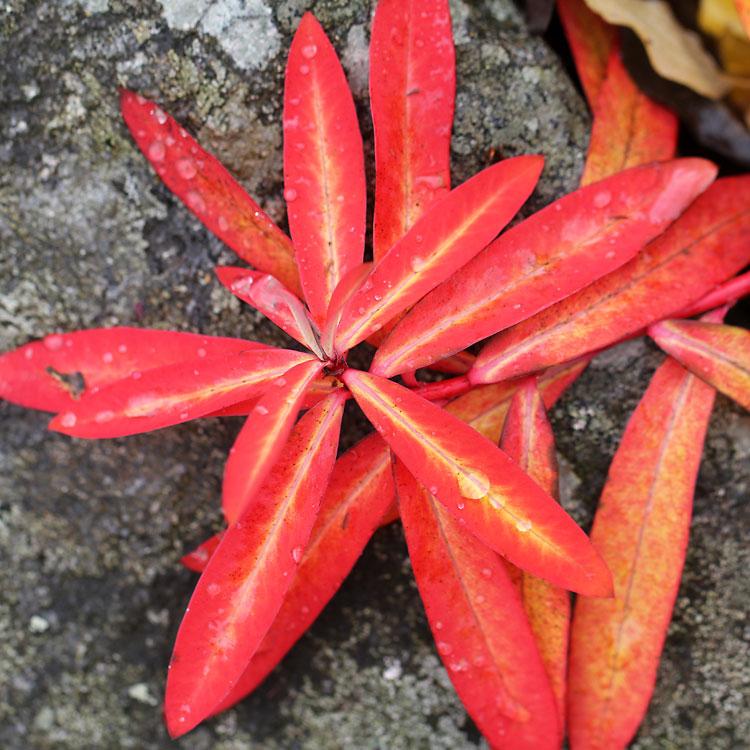 Euphorbia-griffithii-Fire-Glow9