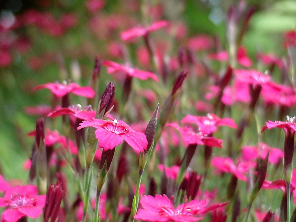 Dianthus-deltoides-020618